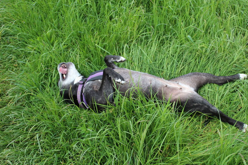 Rolling Dog Green Grass Playing Dead Dog Happiness Cute Dog  Grass Dogslife Staffy Staffylovers Staffies There Softer Than You Think Staffysmile