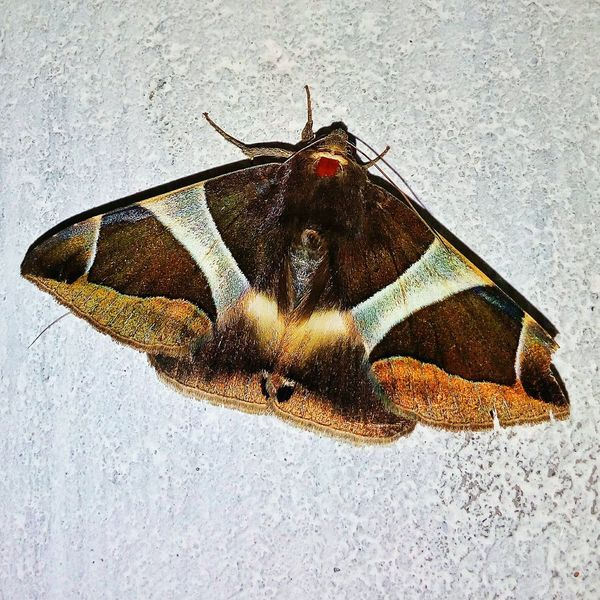 Moth.... Insect Butterfly - Insect Close-up Nightfly Beautiful Insect First Eyeem Photo