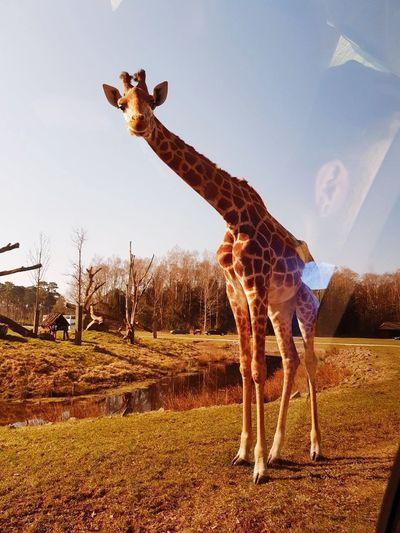 Serengeti Giraffe Animal Themes Sky Animal Giraffe Mammal One Animal Animal Wildlife Pets