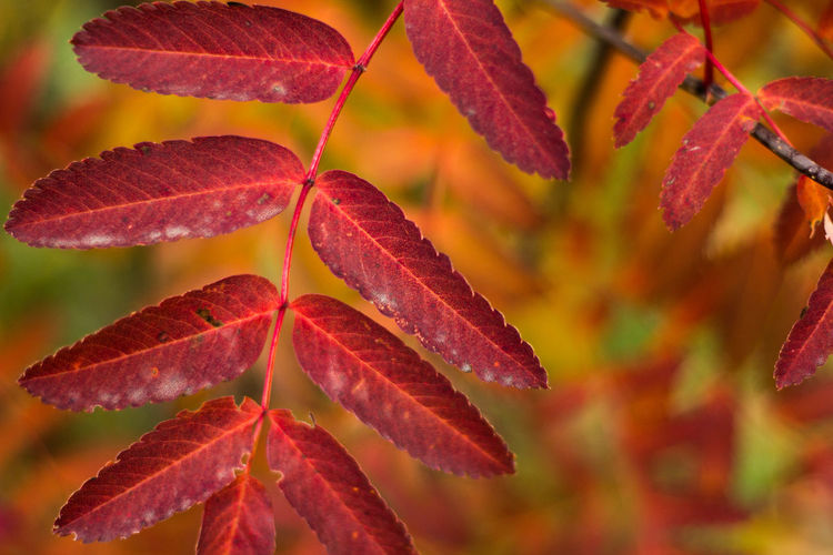 Autumn Leaf Red