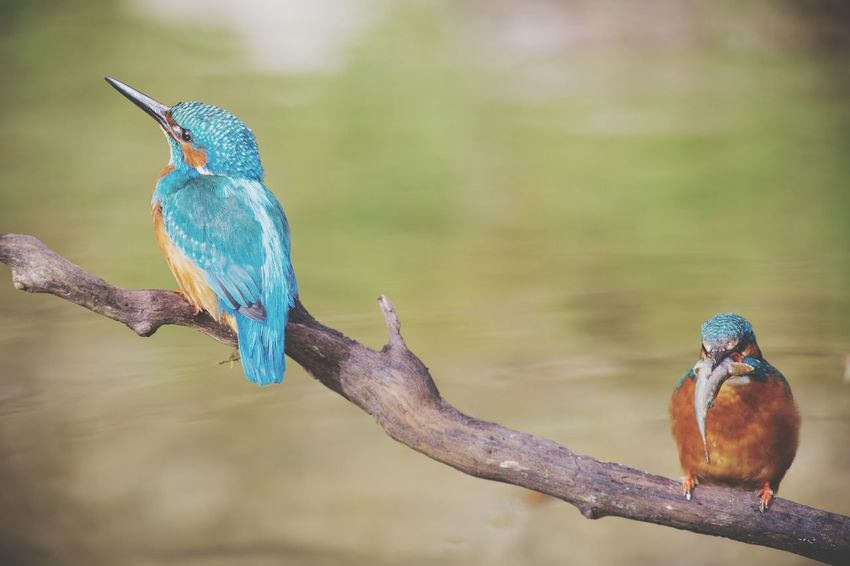 Bird Animal Wildlife Animals In The Wild One Animal Animal Themes Animal Beak No People Animal Behavior Nature Kingfisher Outdoors Day