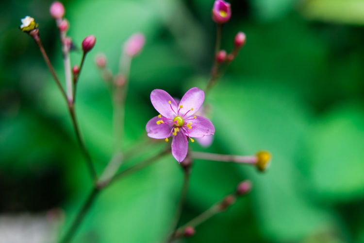 Flower Flowering Plant Plant Growth Fragility Vulnerability  Beauty In Nature Freshness Close-up Petal Selective Focus Focus On Foreground Inflorescence Flower Head No People Blossom Nature Day Pollen Bud Outdoors Springtime Purple Spring