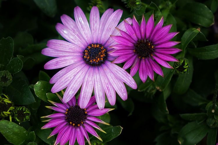 trio #HK HongKong Sony Sonyhk Rx10mk1 Flower Snapseed Eastern Purple Coneflower Flower Head Flower Osteospermum Pink Color Petal Purple Coneflower Pollen Close-up
