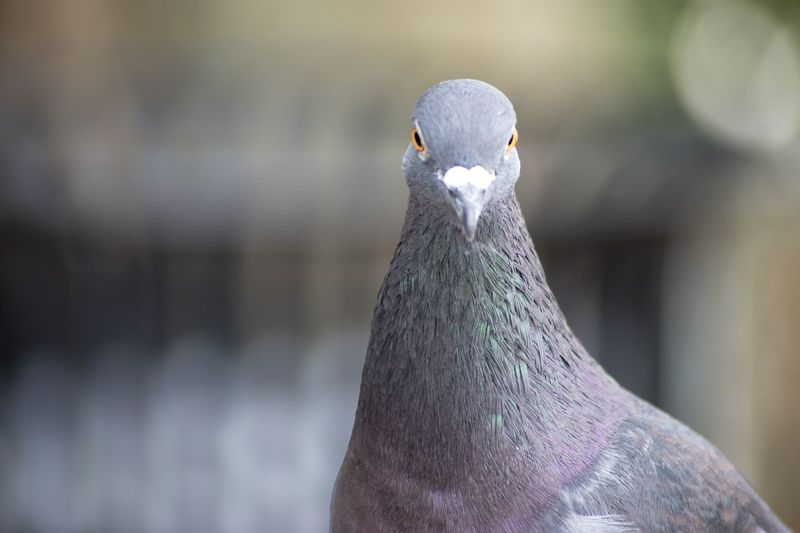 Close-up portrait of pigeon