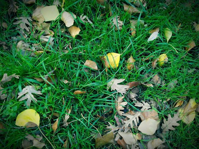 Leaves_collection Fall Leaves Autumn Leaves Leaves Trees Grass Leaves Fallen Leaves Nature Nature_collection EyeEm Nature Lover Nature Photography Naturelovers Yellow Leaves Hojas Hojas Secas Dead Leaves Falling Leaves Leaves Only Leaves Leavesporn