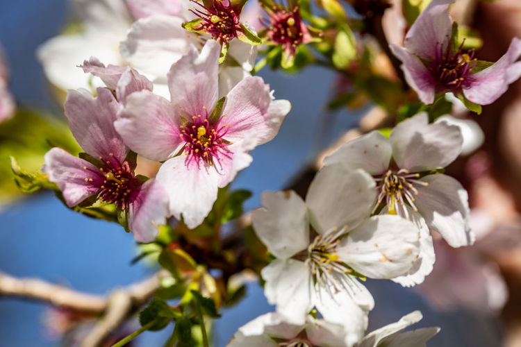 Flowering Plant Flower Plant Freshness Beauty In Nature Growth Fragility Close-up Vulnerability  Petal Tree Blossom Nature Selective Focus Cherry Blossom Pollen Branch Flower Head Inflorescence No People Springtime Outdoors Cherry Tree Spring