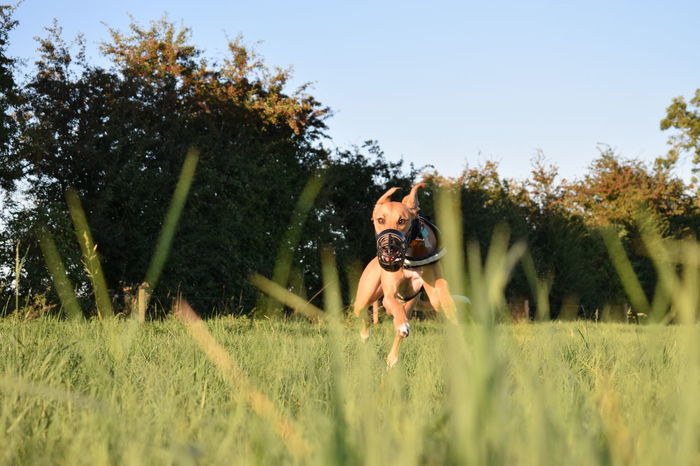 Beauty In Nature Day Dog Enjoyment Fun Grass Grassy Green Color Growth L Lurcher Nature Tranquil Scene