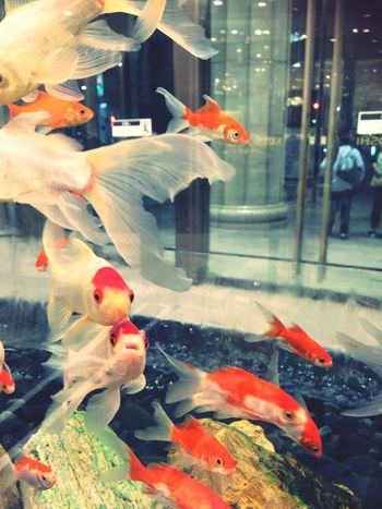 Animal Themes Fish Large Group Of Animals Water Swimming Goldfish Animals In The Wild Indoors  Aquarium No People Day Close-up Nature 7/22, 2017☀️ summer is here🍉
