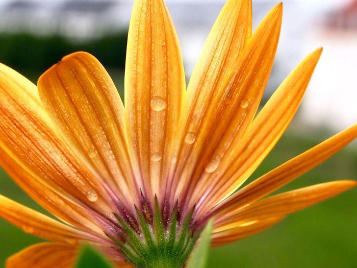 Extreme close-up of daisy