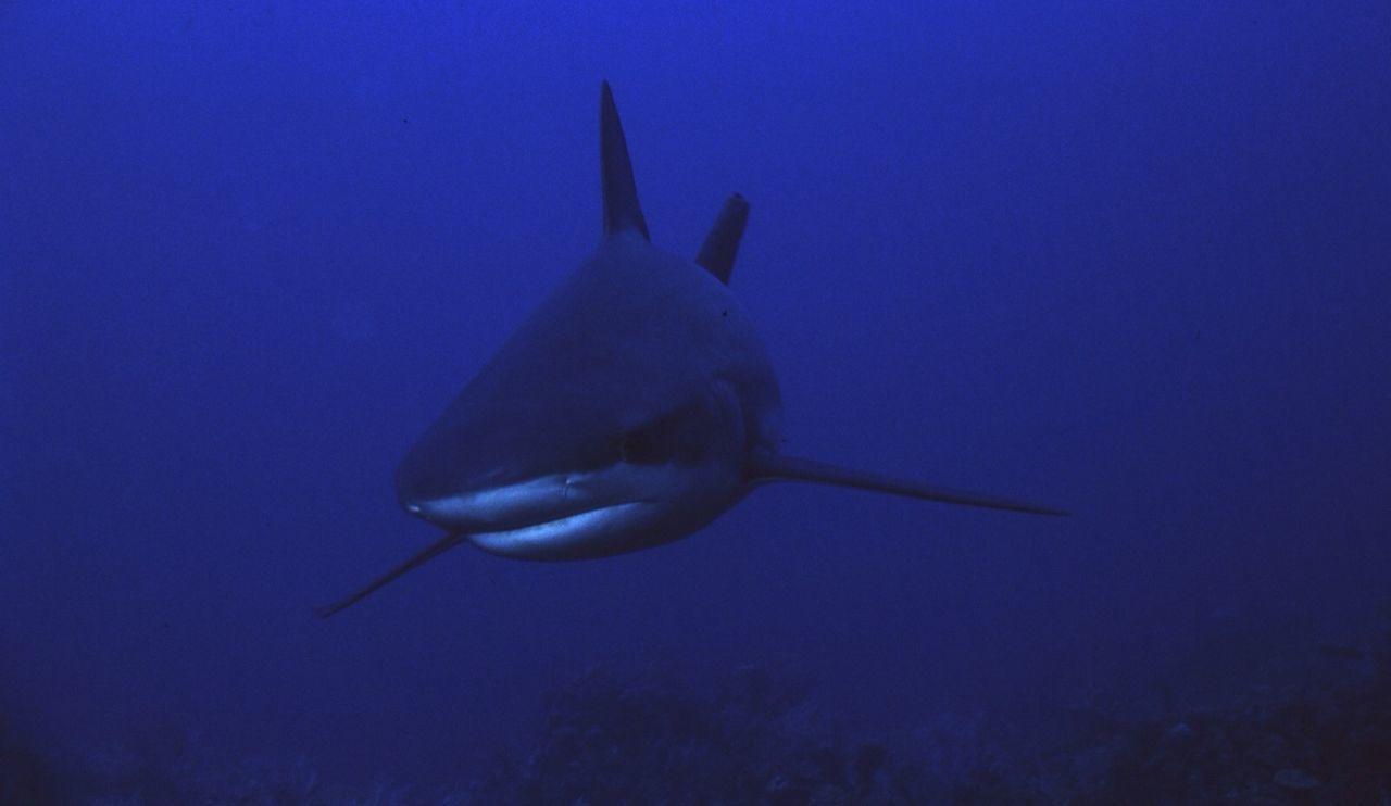 Gray reef shark swimming in blue sea
