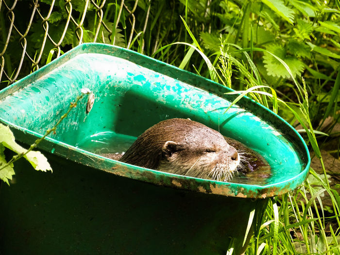 Wild Animal Otter In Bucket Otter Playing Otter Swimming