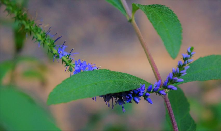 Veronica and Butterfly Bush Holding Hands Leaf Plant Part Plant Growth Green Color Nature Close-up Beauty In Nature No People Selective Focus Freshness Day Focus On Foreground Outdoors Flower Plant Stem Purple Underneath Curled Up Purple Flower Purple Color Veronica Flower Butterfly Bush