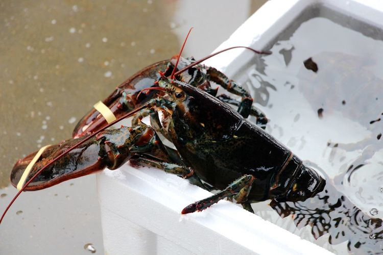 Close-up of lobster in water