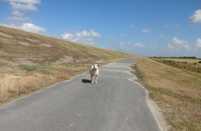 Way Sunny Day Summer Summertime Mammal Standing Landscape Landschaft Nordsee North Sea Schaf  Sheep Damm Deich  Dike Full Length Nature Day Outdoors Beach