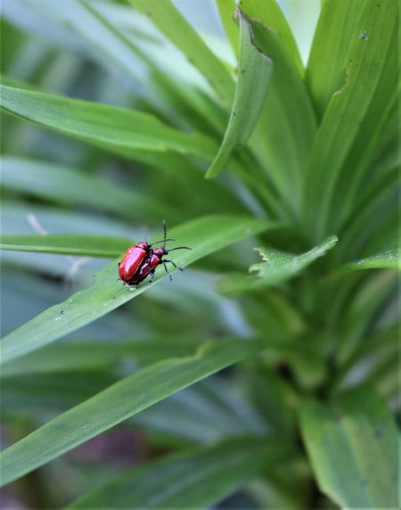 Bug Mating Beetle Bugs Close-up Green Color Growth Insect Mate Outdoors Pest Red