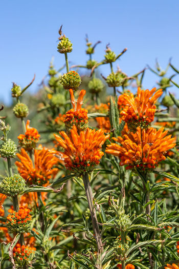 Leonotis Nepetifolia, also known as Lion's Ear flowers growing in San Francisco Christmas Candlestick Leonotis Nepetifolia Beauty In Nature Close-up Day Flower Flower Head Flowering Plant Focus On Foreground Fragility Freshness Green Color Growth Inflorescence Lion's Ear Lion's Tail Nature No People Orange Color Outdoors Petal Plant Selective Focus Sky Vulnerability