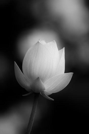 Soft Focus Botany Flower Flower Head Fragility Freshness Lotus Nature Petal Plant Selective Focus Soft Focus White Color