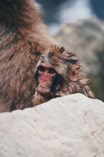 Close-up of monkey on rock