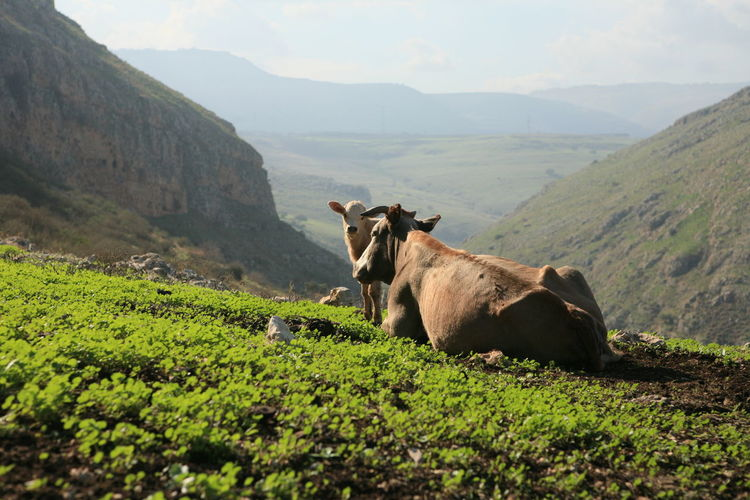 Cows in an Israeli landscape Mammal Animal Themes Animal Mountain Domestic Animals Livestock Nature Domestic One Animal Plant Landscape Pets Land Vertebrate Environment Green Color Grass No People Day Field Outdoors Herbivorous