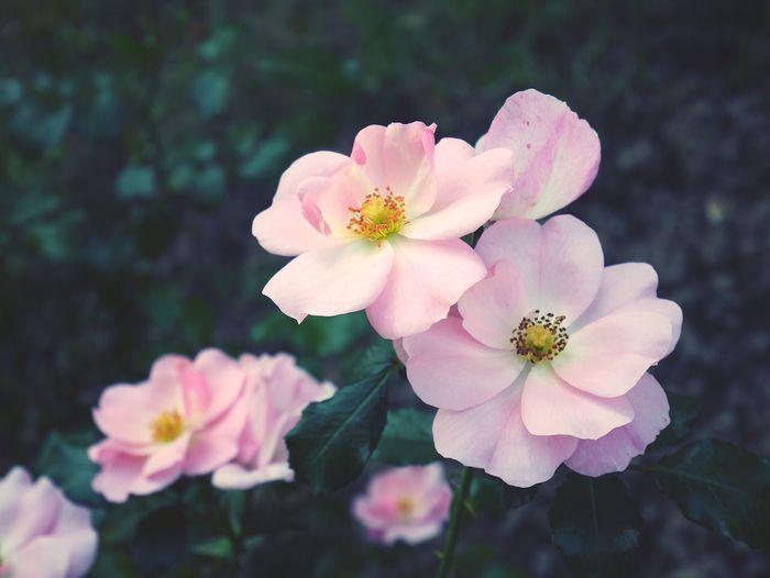 Rose petals 🌹