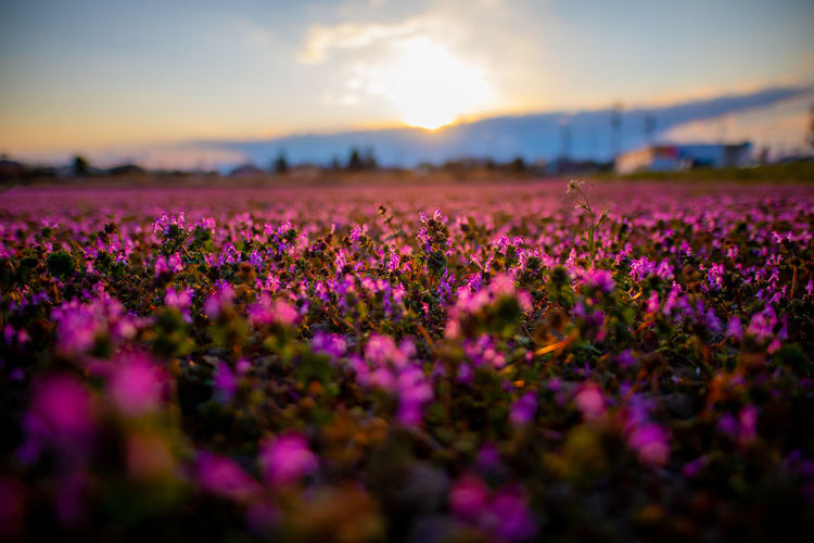 Japan Photography Hello World Tadaa Community Japan Discoverjapan Flower Head Flower Rural Scene Sunset Perfume Flowerbed Beauty Agriculture Springtime Field
