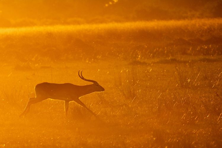 Lechwe on grass during sunset
