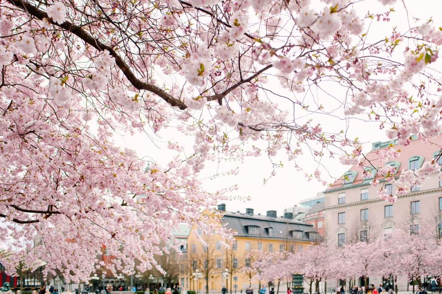Summertime Summer Spring Springtime Cityscape City Tree Plant Blossom Flowering Plant Springtime Flower Building Exterior Architecture Cherry Tree Cherry Blossom Built Structure Fragility Pink Color Branch Beauty In Nature Growth Nature Freshness Day Sky