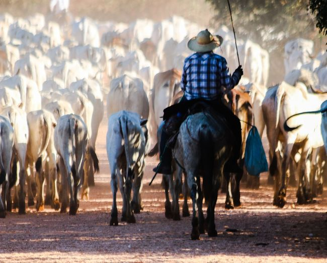 Cowboy Riding On Horse With Herd Of Cows