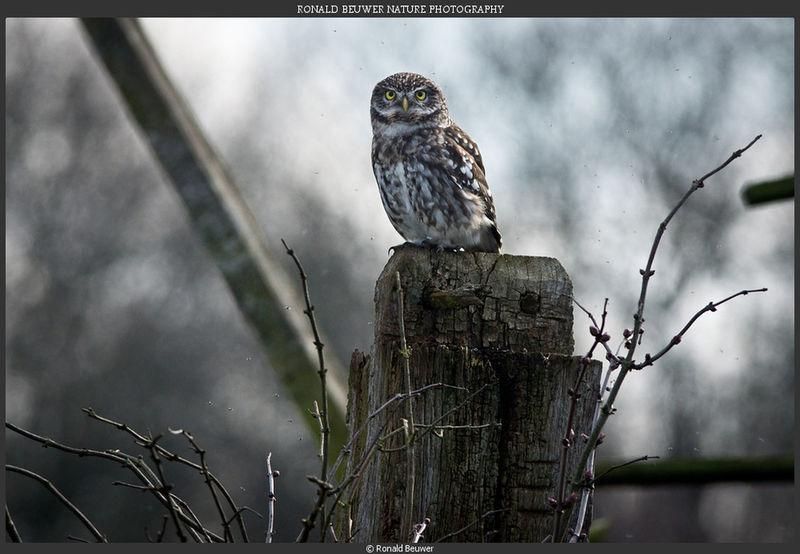 Steenuil. Little owl