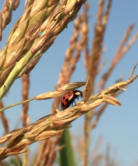 Harvest time Coccinella Environnement Orange Ladybug Harmonia Crops Wheat Countryside Fields
