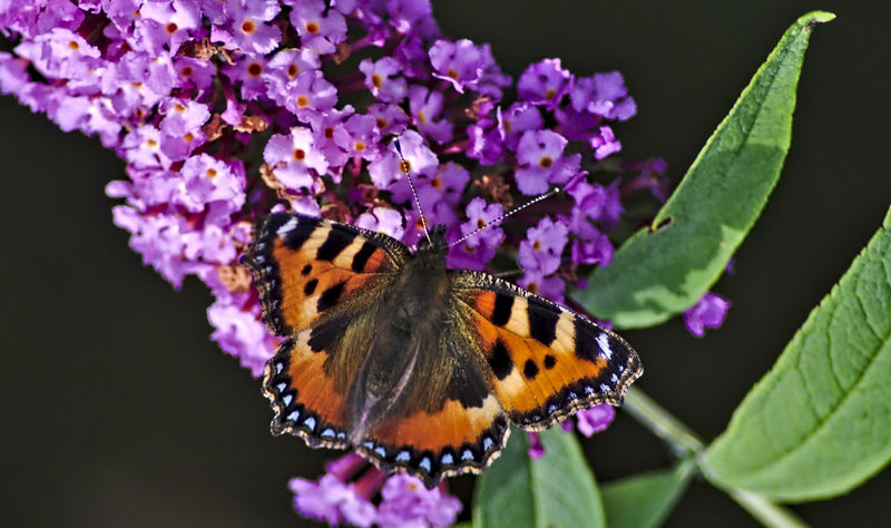 Landkärtchen, Map Butterly Araschnia Levana Blooming Butterfly Butterfly - Insect Butterfly Bush Butterfly On Flower Butterfly Wings Close-up Day EyeEm Nature Lover Flower Focus On Foreground Fragility Insect Landkärtchen Map Butterfly Nature's Diversities Nikon One Animal Outdoors Pink Color Purple Selective Focus Summer Lilac The Great Outdoors - 2016 EyeEm Awards