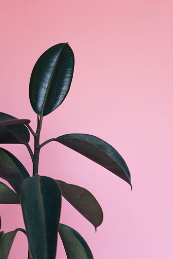 Close-up of plant growing against pink background
