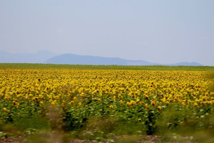 Along the roads in Andaluzia, yellow beauties! 43 Golden Moments Beauty In Nature Blooming Blossom Blue Mountains Close Up Day Fields Flower Freshness Golden View Landscape_Collection No People Plant Scenics Sunflowers Yellow
