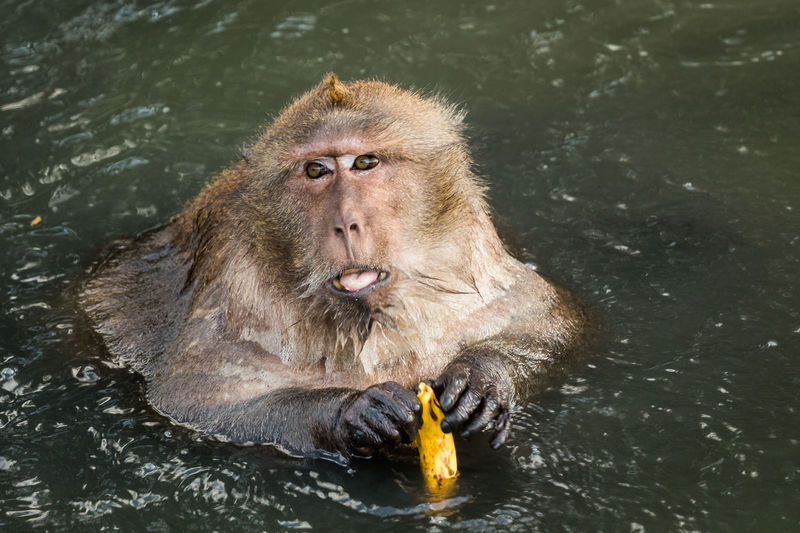 High angle view of long-tailed macaque holding banana in lake at zoo