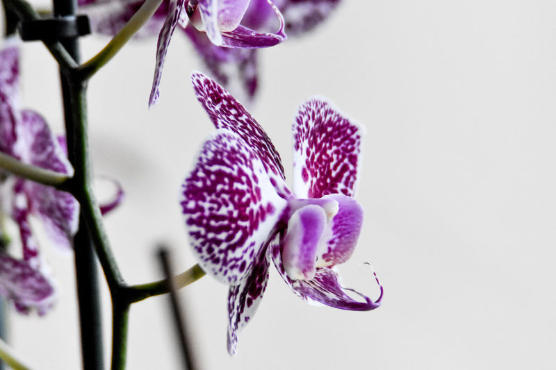 Close-up of purple orchid