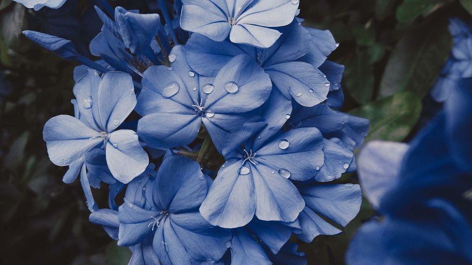 🌧 Plumbago Auriculata Rain Beauty In Nature Blue Flower Flower Head Fragility Freshness Leaf Nature Outdoors Petal Petals Plant Plumbago Summer Summer ☀