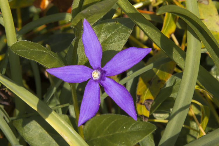 Flowering periwinkle, vinca herbacea Beauty In Nature Close-up Day Flower Flower Head Leaf Nature No People Outdoors Periwinkle Petal Plant Purple Vinca Vinca Herbacea