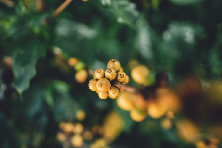 Close-up of yellow berries growing on tree