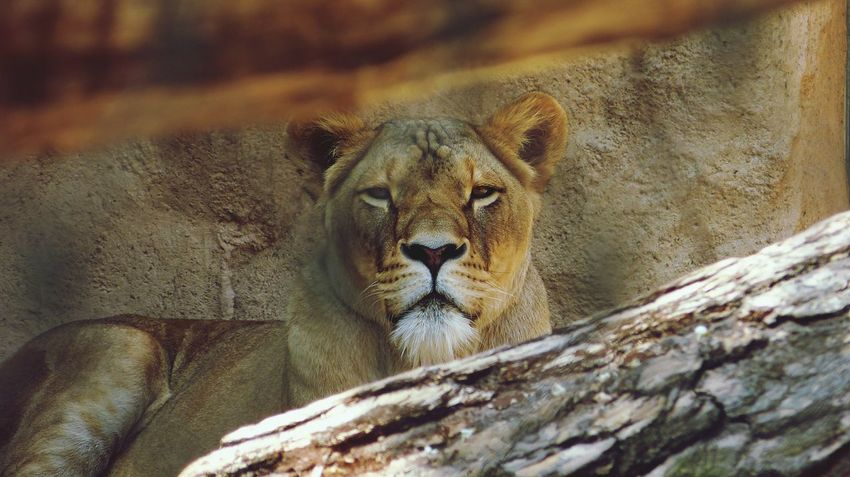 Zoo Lion EyeEm Best Shots Sunny Day