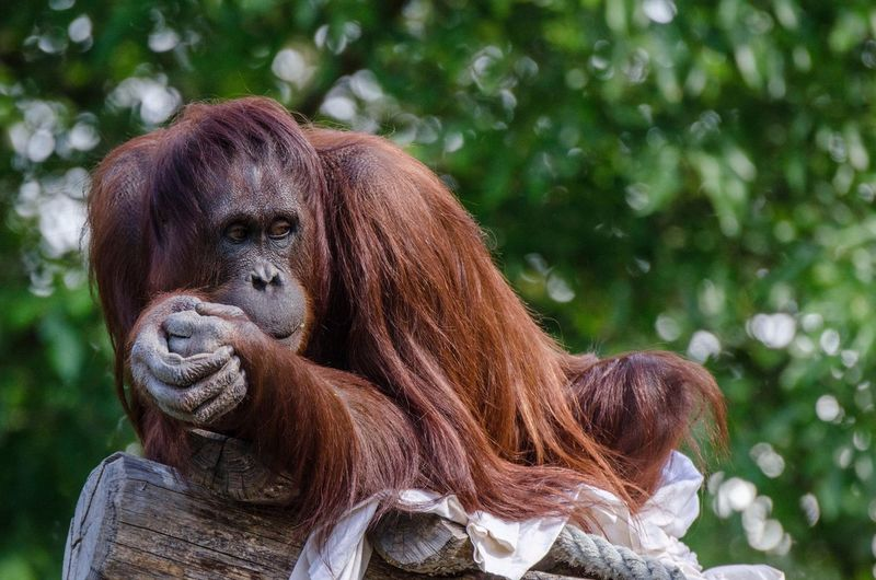 Low angle view of orangutan sitting against tree