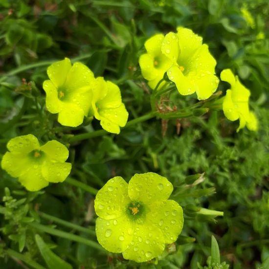 Primavera! Flower Head Plant Part Leaf Vine - Plant Cultivated Agriculture Vegetable Close-up Plant