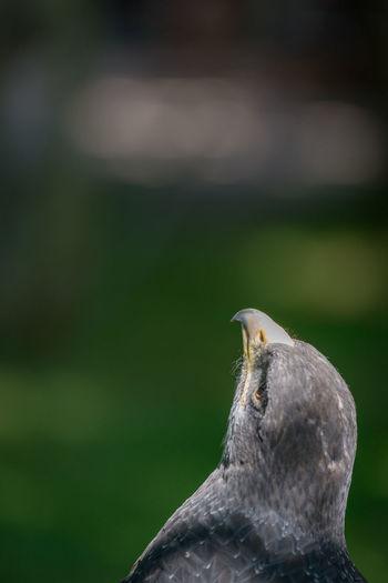 Bird Bird Of Prey Black-chested Buzzard-eagle Buzzard  Close-up Eagle Predator Raptor