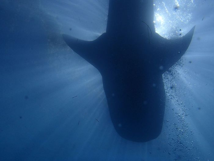 Underwater View Of Whale Shark