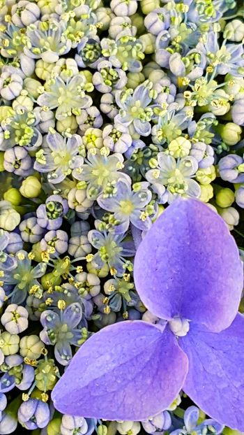 Hortensia Flower Outdoor Photography Garden Photography Garden Flowers Beauty In Nature Outdoors Plant Day Nature Fragility No People Growth Close-up Freshness Flower Head Composite Flower Freshness Real Flower Blue