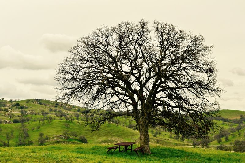Tree Nature Beauty In Nature Landscape Bare Tree Field Tranquility Grass Tranquil Scene Growth Scenics Sky Tree Trunk Rural Scene Outdoors No People Day Lone Branch Isolated EyeEmNewHere EyeEm Nature Lover California Dreamin