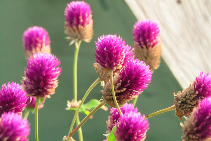 Close-up of pink thistle blooming outdoors