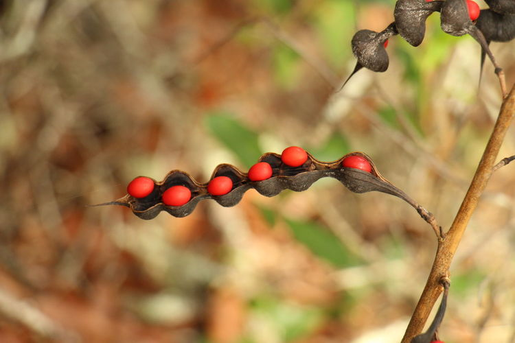 Close-up of berries hanging on tree