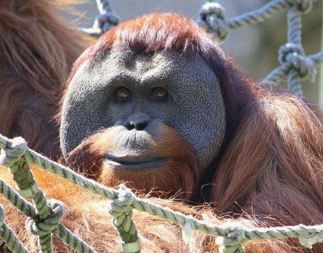Portrait Of Orangutan At Zoo