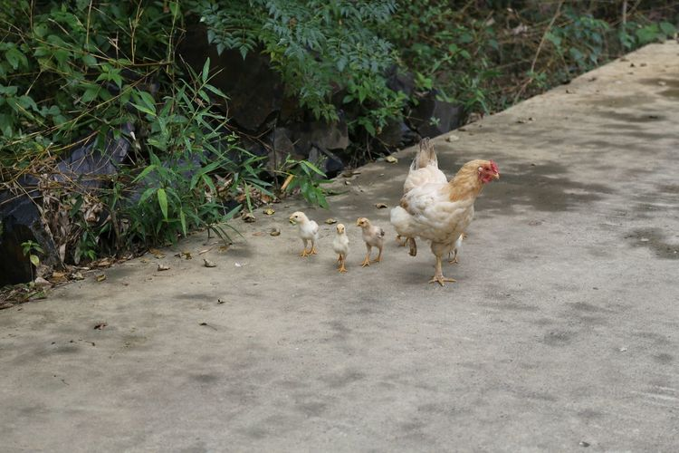 The Purist (no Edit, No Filter) Hometown Anhui,China Chikens Little Chicken Chickens Chick Chicks Bamboo Forest