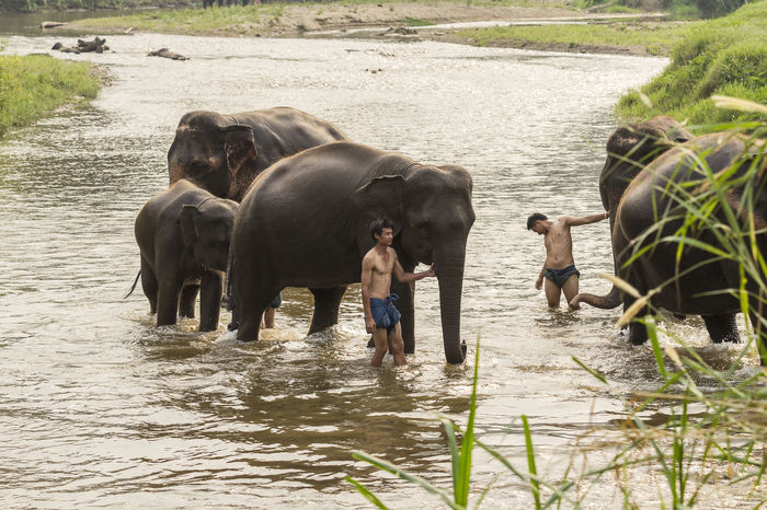 Chiang mai, Thailand- April 4, 2017:Thai elephants taken a bath by mahout at river. Asian  Bath Livestock Local Man Thai Thailand Traditional, Day Domestic Animals Editorial  Elephant Mahout Mammal Men Nature Outdoors People Real People Rual Shower Standing Togetherness Water